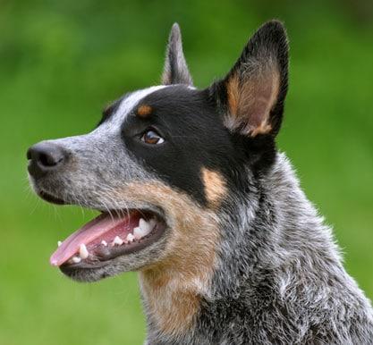Healthiest Dog Breeds Pet Keen