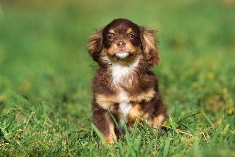 Chi-Spaniel sitting on grass