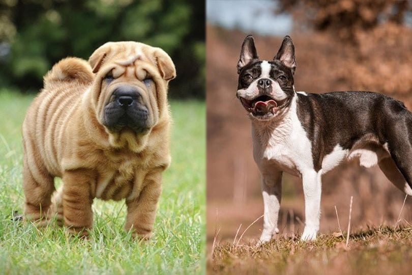 Chinese Shar Pei and Boston Terrier