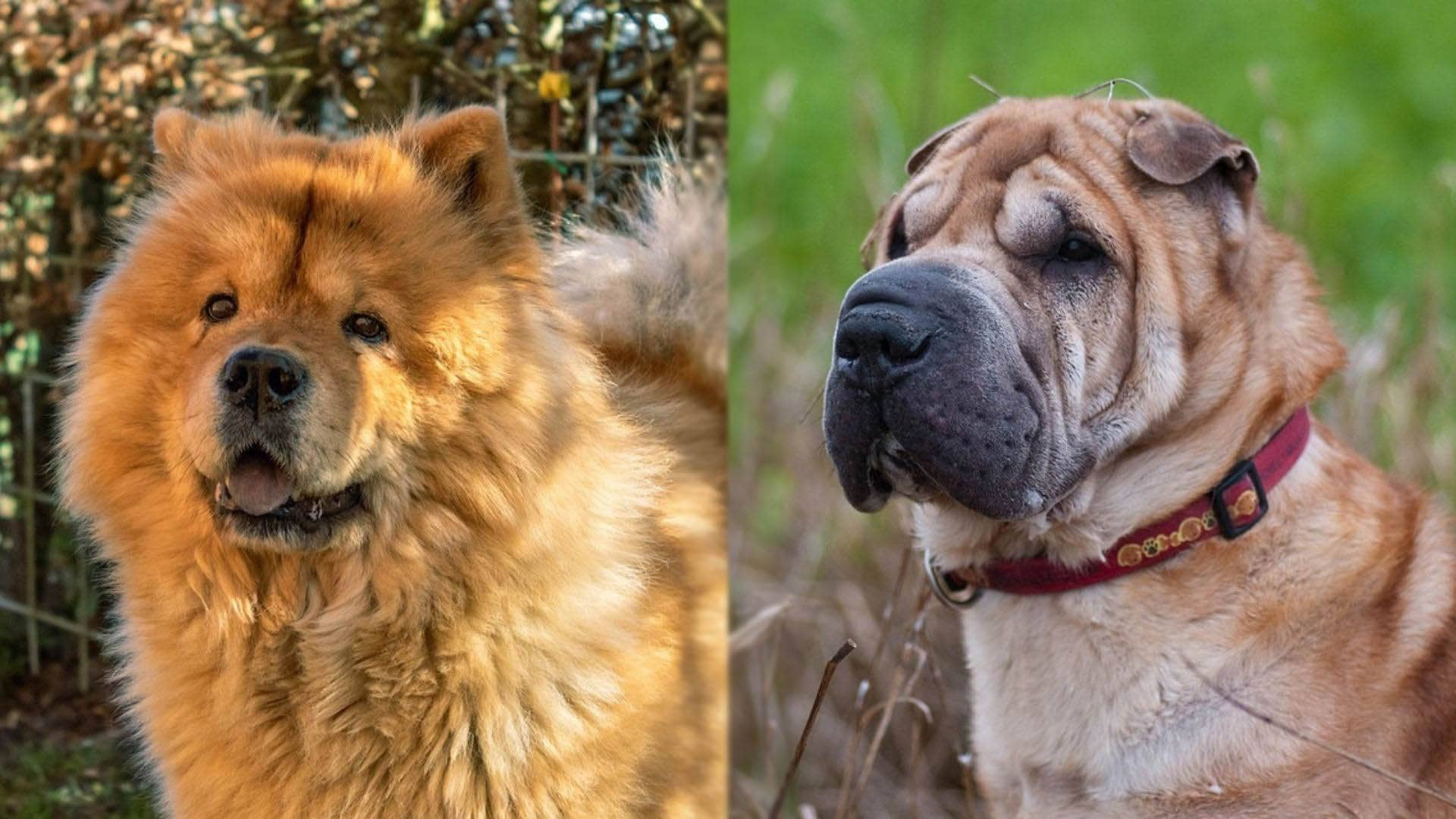 Chow Pei - Chow Chow and Shar Pei Mix