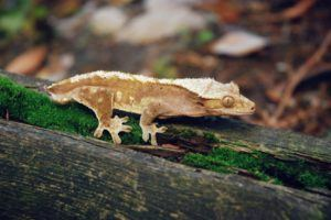 Crested gecko on mossy wood