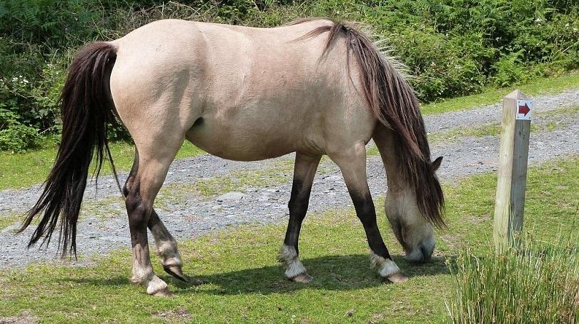 Dun_horse_Commons wikimedia