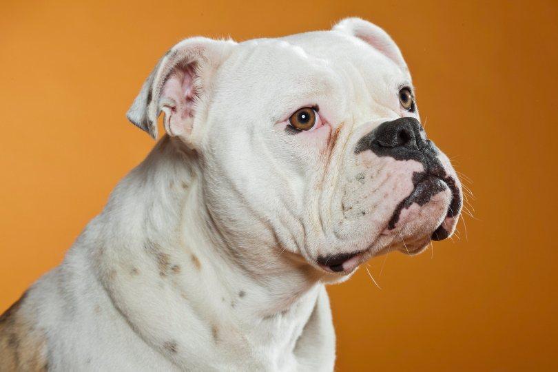 EngAm Bulldog_Ysbrand Cosijn_Shutterstock