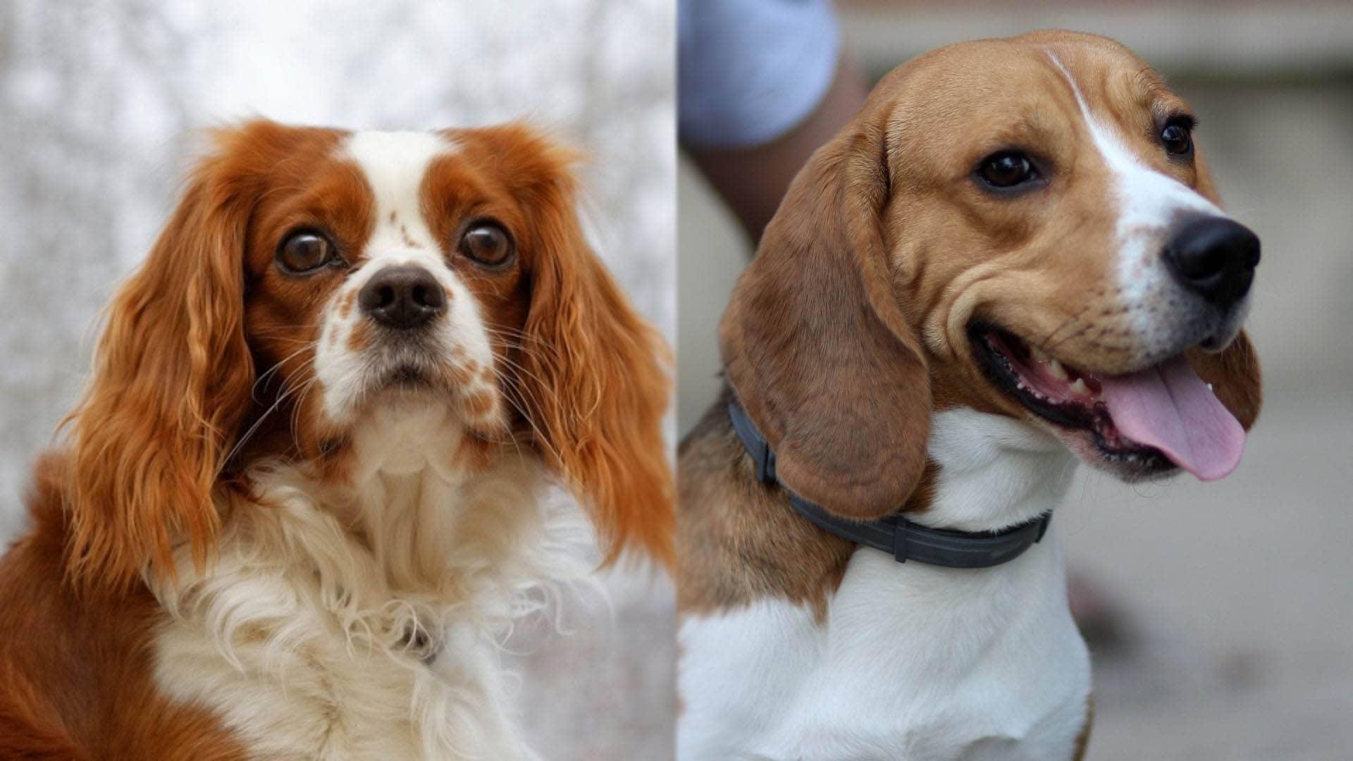 English Speagle - English Toy Spaniel and Beagle Mix