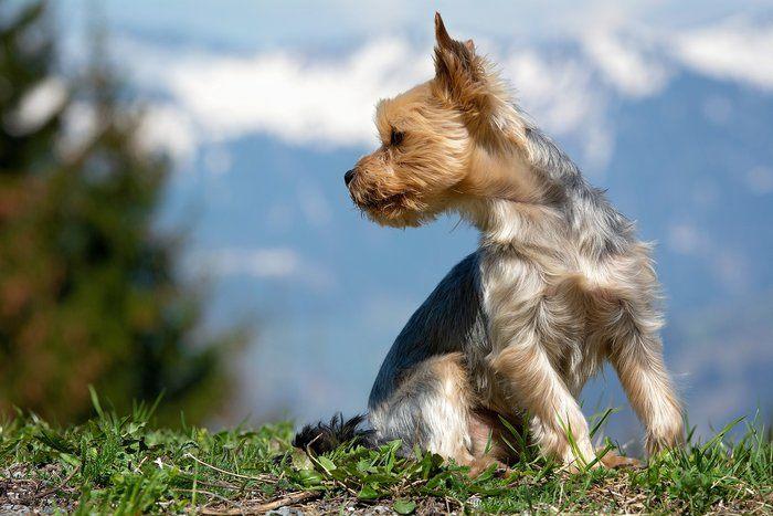 Fourche Terrier