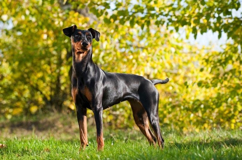 German-pinscher-dog_Dora-Zett_shutterstock