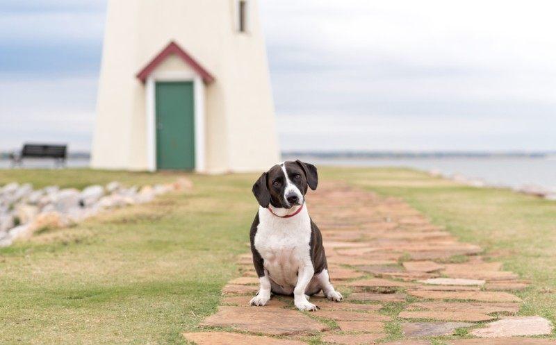 Great Dane Basset Hound mixed breed dog