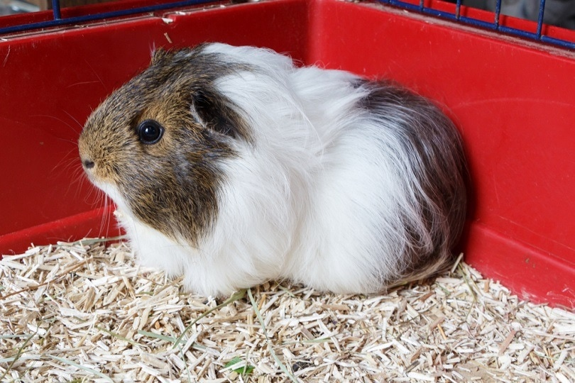 Grey and white guinea pig on litter