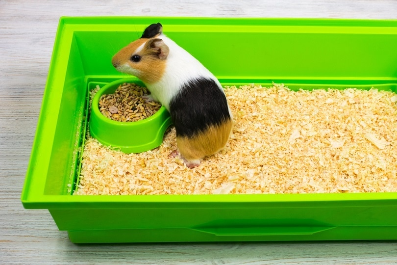 Guinea pig on sawdust bed in a green box_Nataliia Kozynska_shutterstock