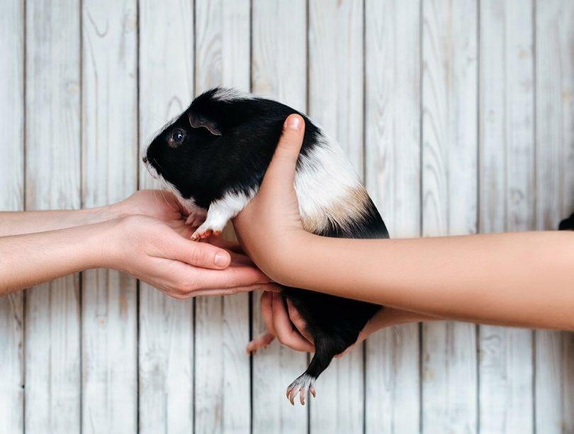 Guinea pig_Shchus_shutterstock