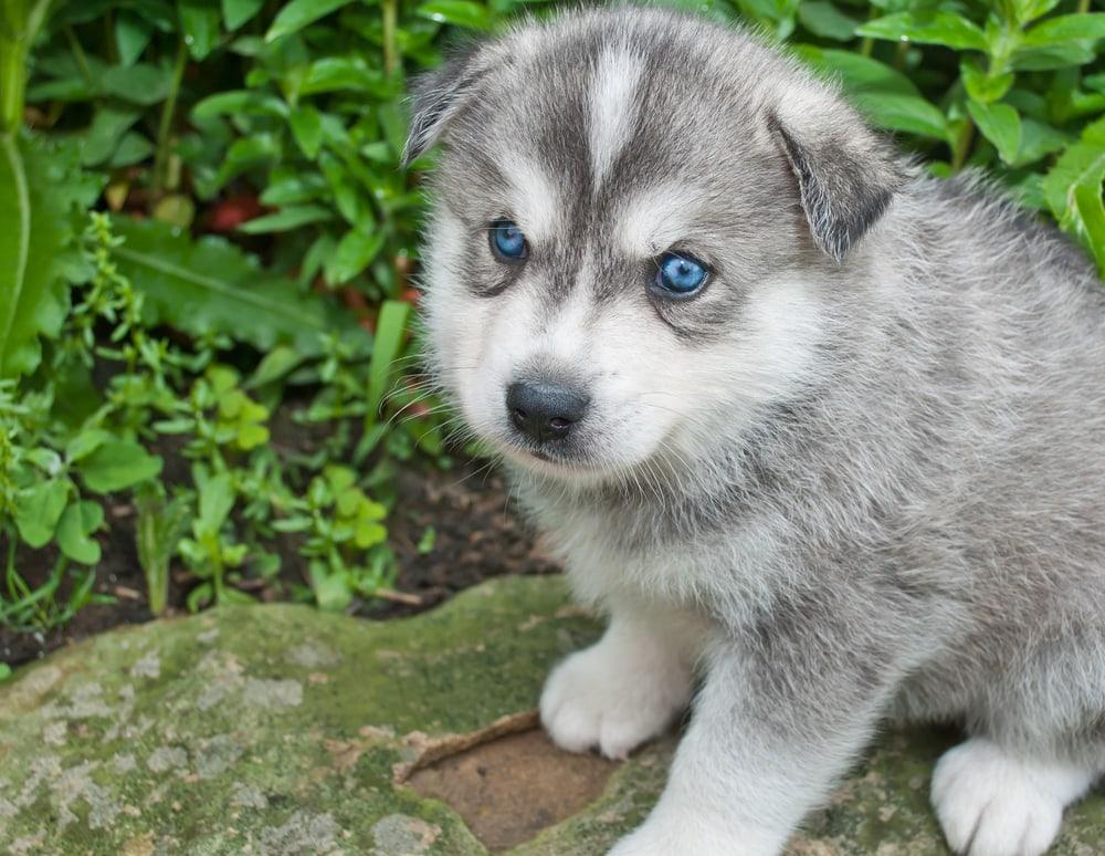 Huskimo puppy with blue eyes