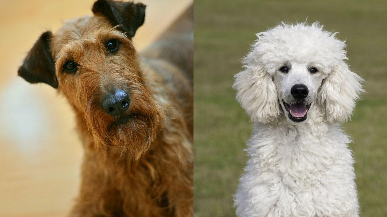 Irish Troodle - Irish Terrier and Poodle Mix