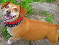 jackshund, Dachshund and Jack Russell Terrier