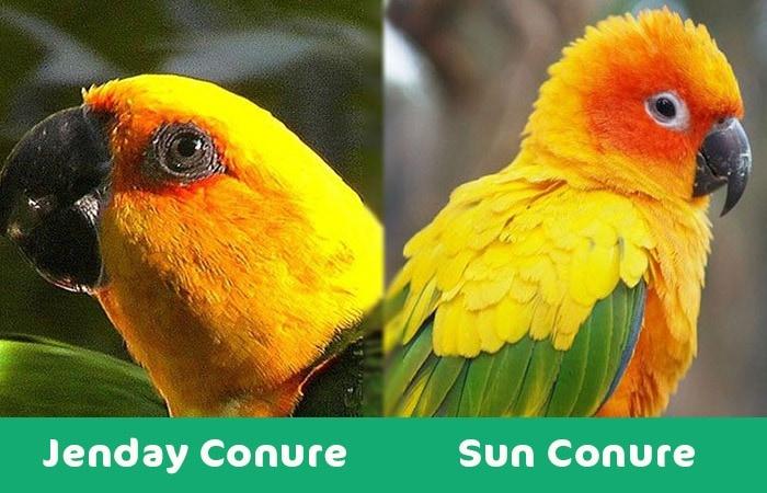 Jenday Conure vs sun visual