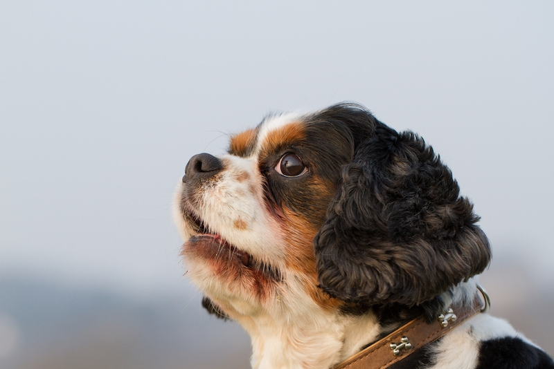 King Charles Yorkie_ StefanieMueller, Shutterstock