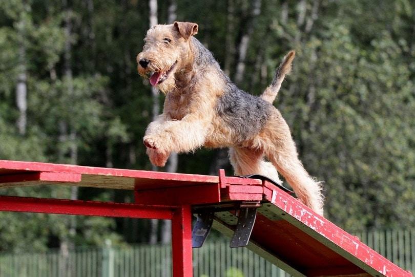 Lakeland-Terrier-at-competitions-of-Dog-agility_Zelenskaya_shutterstock