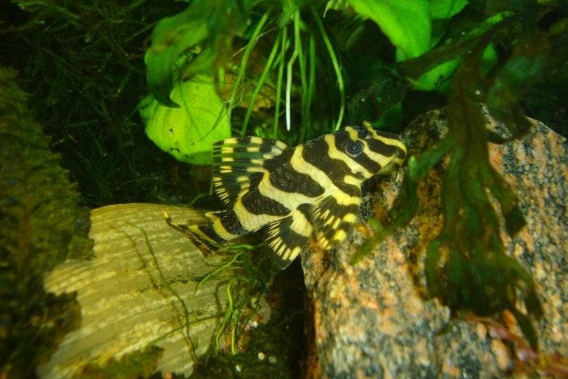 Leopard Frog Plecostomus