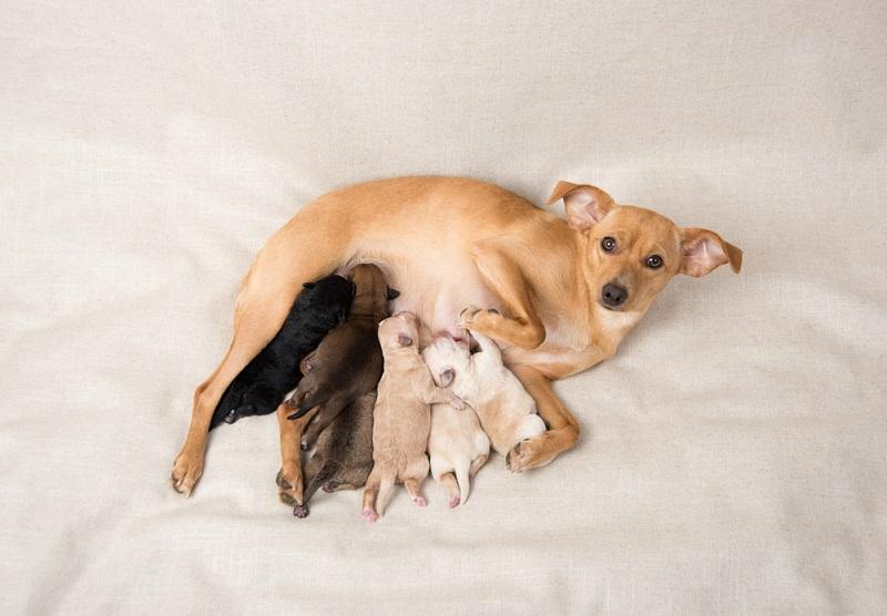Litter-of-Small-Breed-Newborn-Puppies-Nursing-on-Their-Mom_anna-hoychuk_shutterstock
