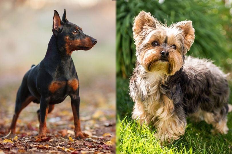 Miniature Pinscher and Yorkshire Terrier