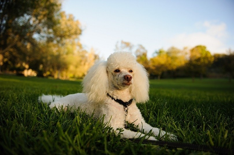 Miniature Poodle on grass