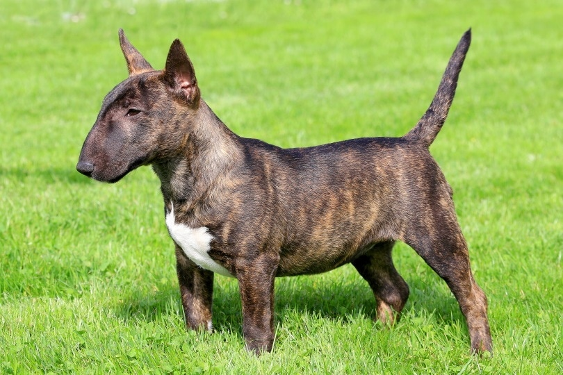 Miniature Bull Terrier Complete Guide Info Pictures Care More Pet Keen