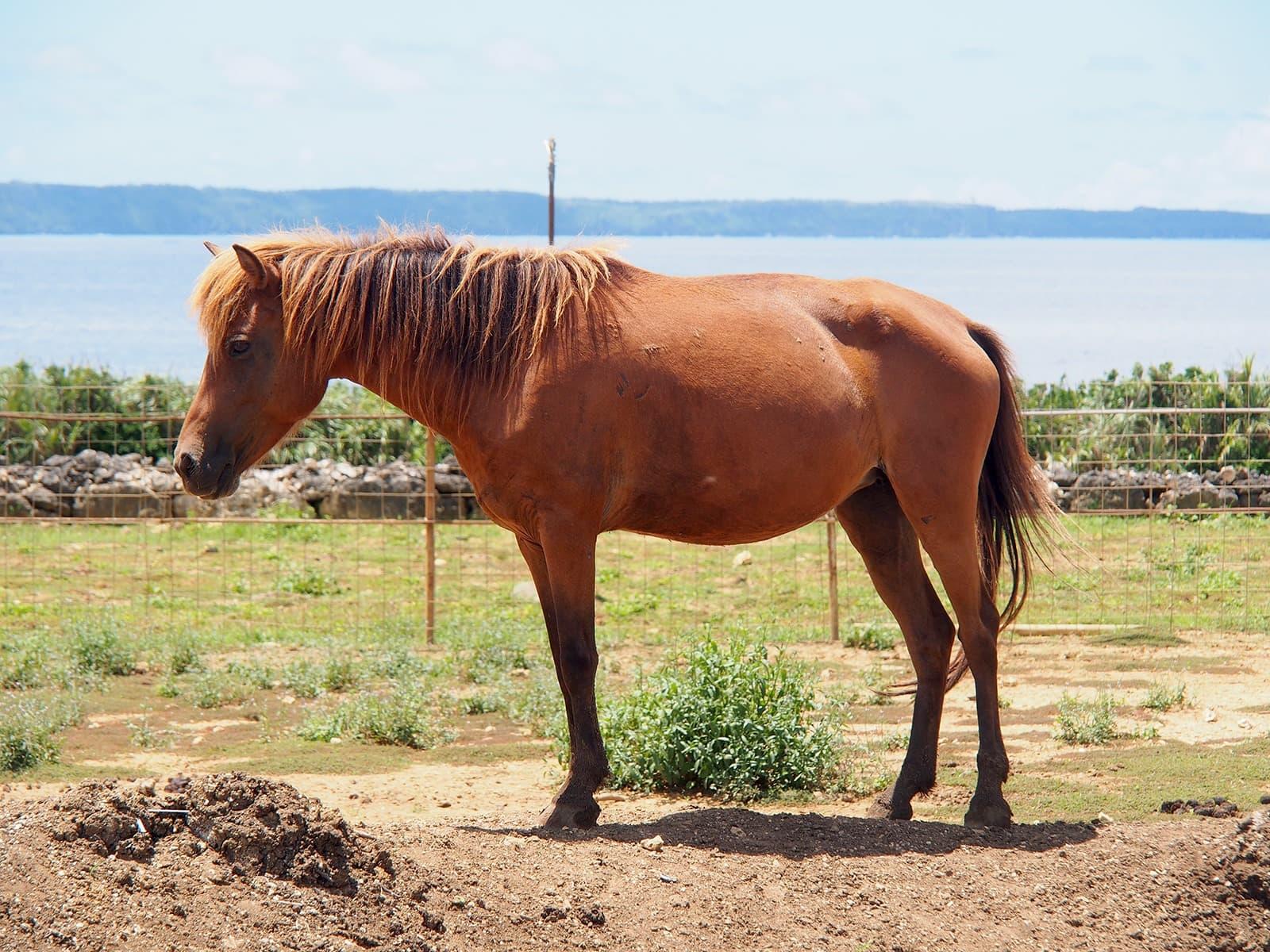 Miyako horse