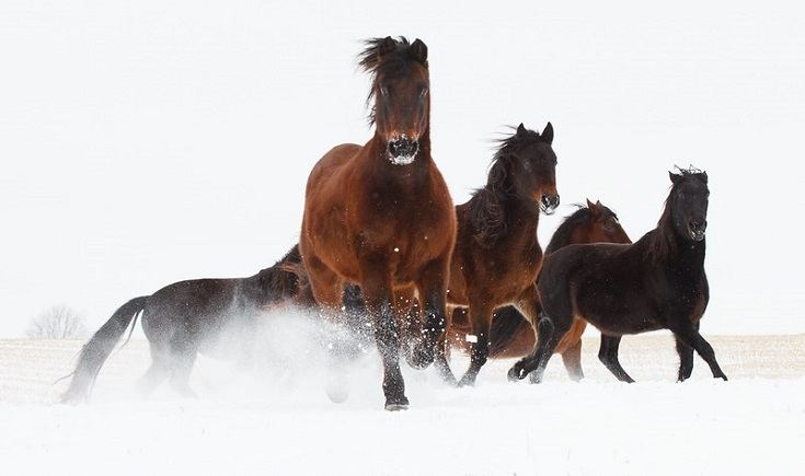 Morgan horses on snow