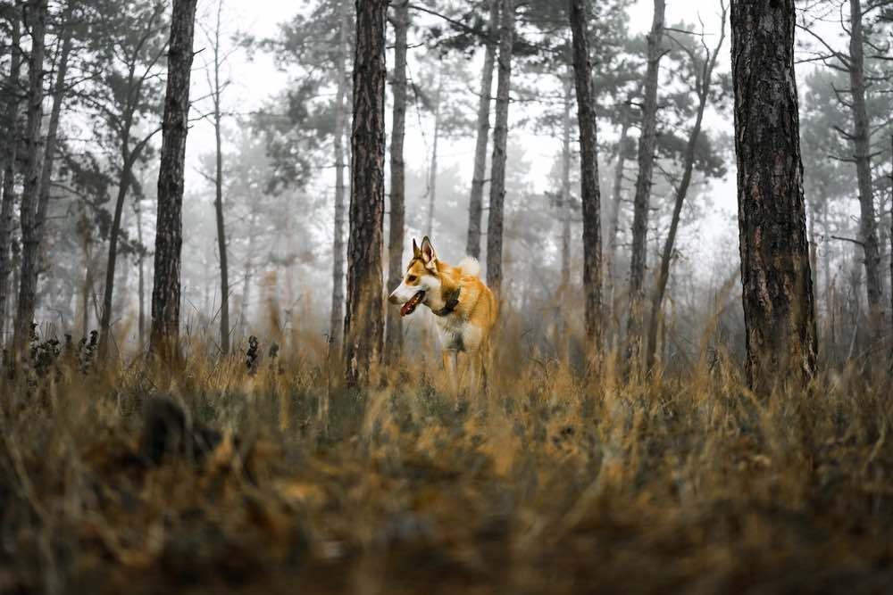Norwegian-Lundehund-in-forest_Irine-and-Andrew_Shutterstock