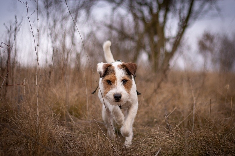 Parson-Russell-Terrier_Kristyna-Mrazkova_shutterstock