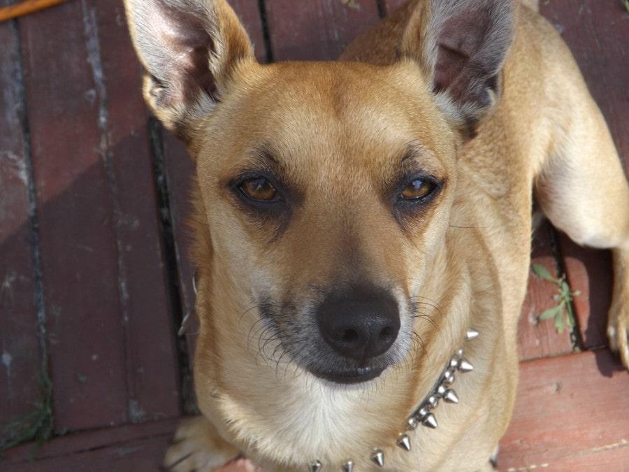 Pit-bull Chihuahua Mixed Breed Dog