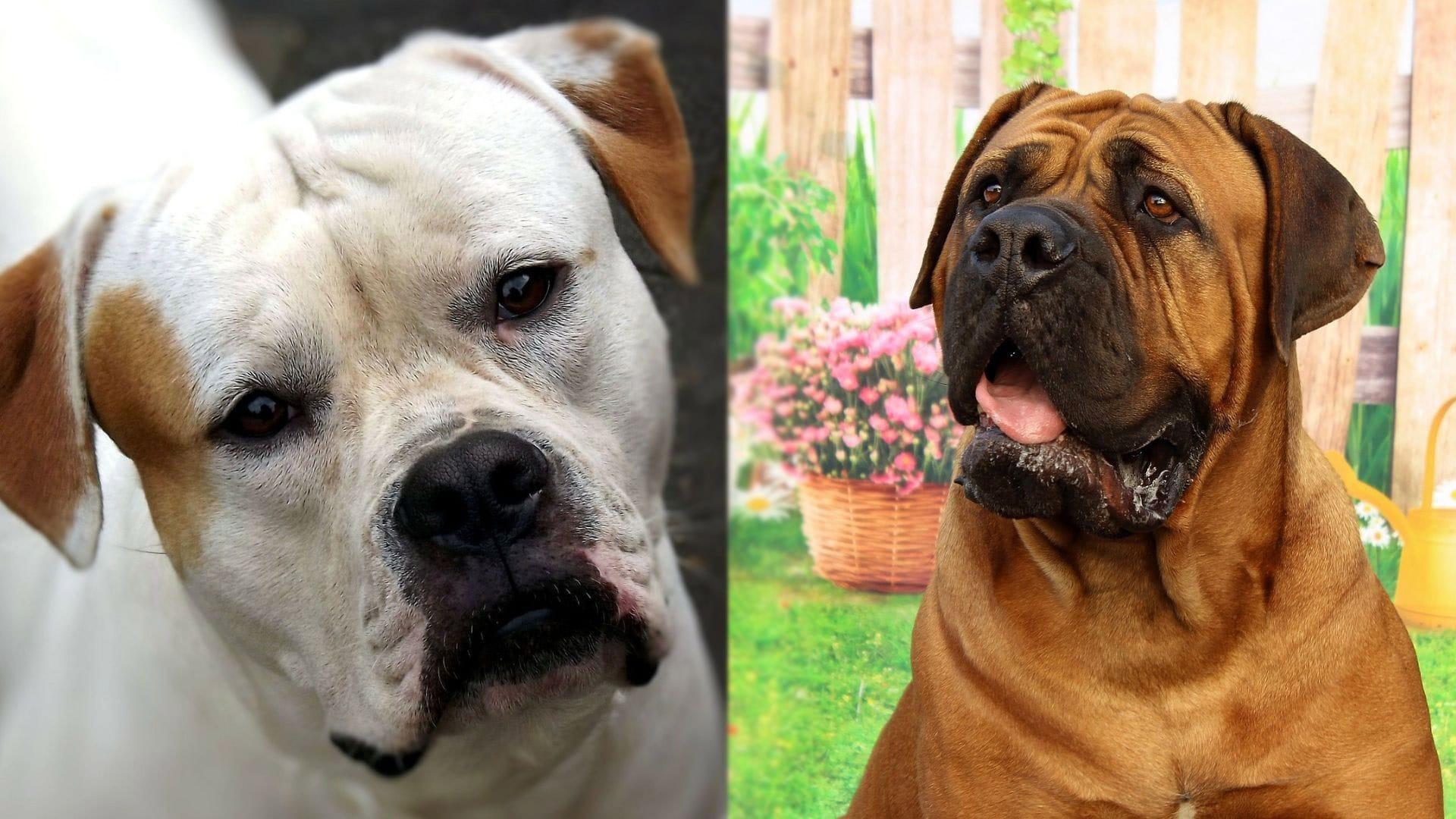 Pitbull Mastiff - American Bulldog and Mastiff Mix