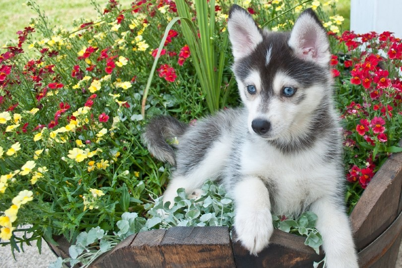 Pomsky puppy laying in a bucket of flowers