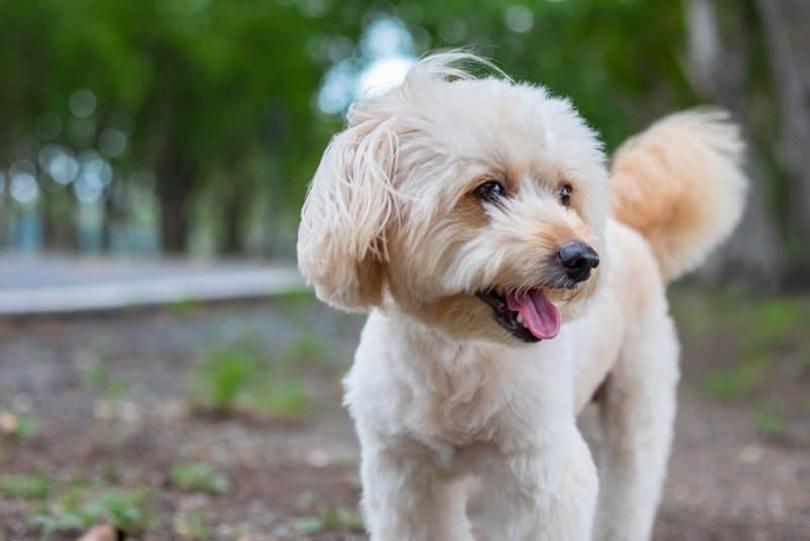 Poodle-Rat-Terrier-mix_Sarawut Sriphakdee, Shutterstock