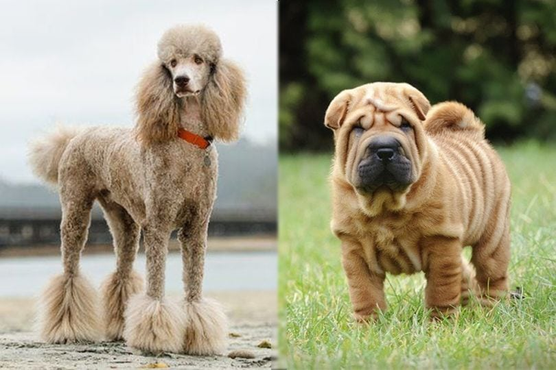 Poodle and Chinese Shar-Pei
