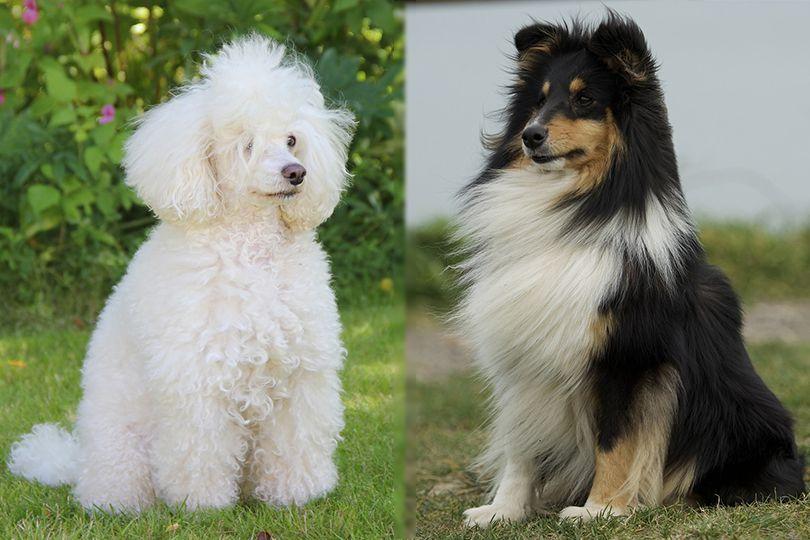 Poodle and Shetland Sheepdog