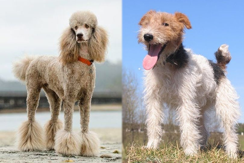 Poodle and Wirehaired Fox Terrier
