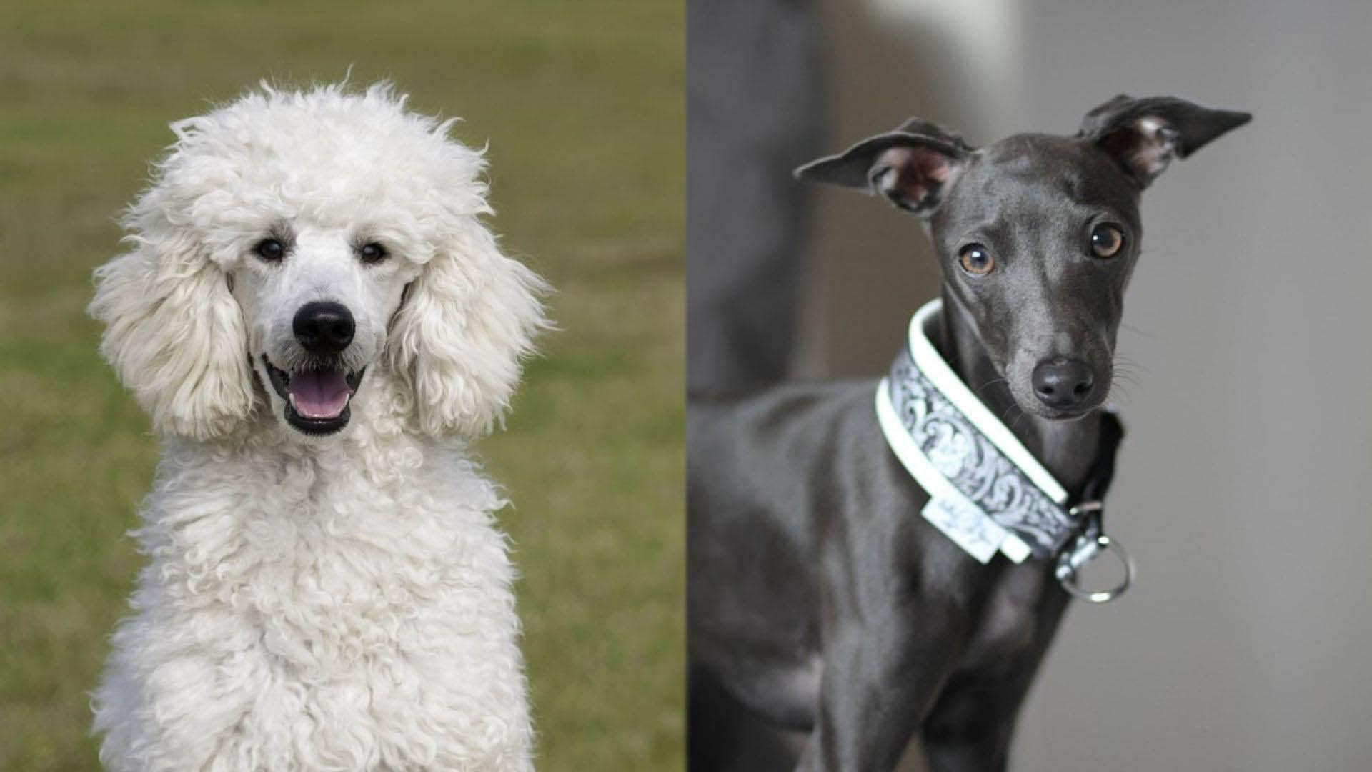 Pootalian - Poodle and Italian Greyhound Mix