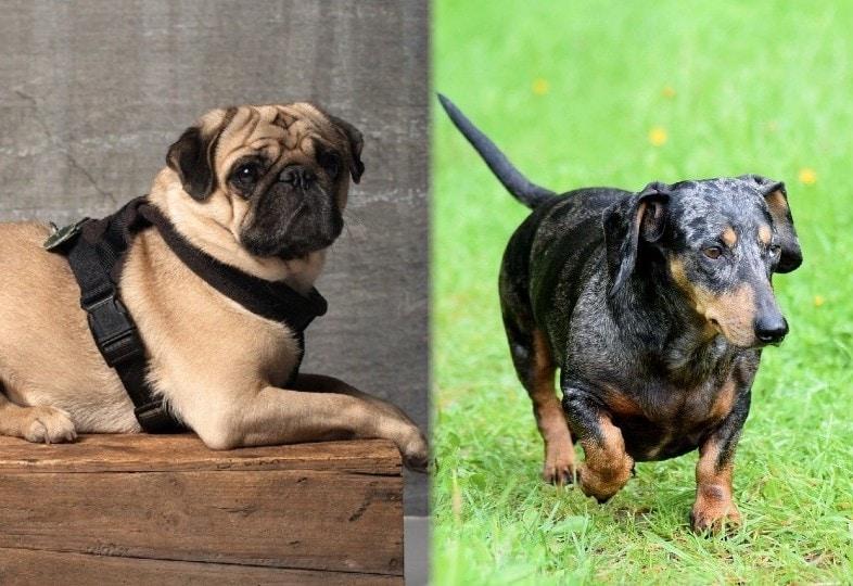 parents pug dachshund pixabay
