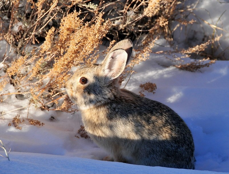 Pygmy Rabbit_USFWS Mountain Prairie_flickr