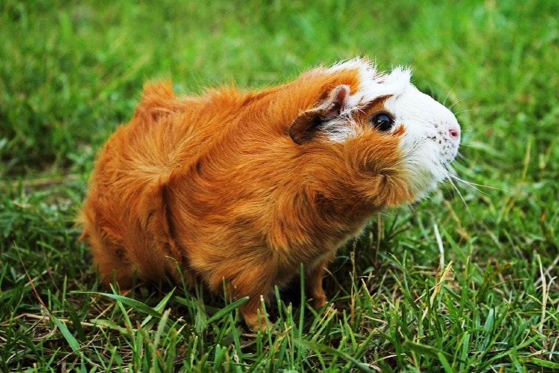 Red Abyssinian Guinea Pig on green grass