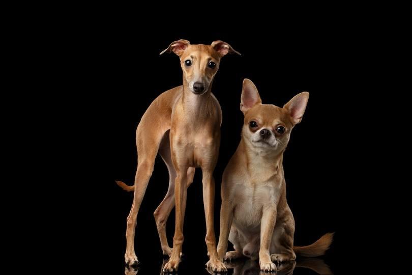 Red-Chihuahua-and-Italian-Greyhound-Dogs_Seregraff_shutterstock