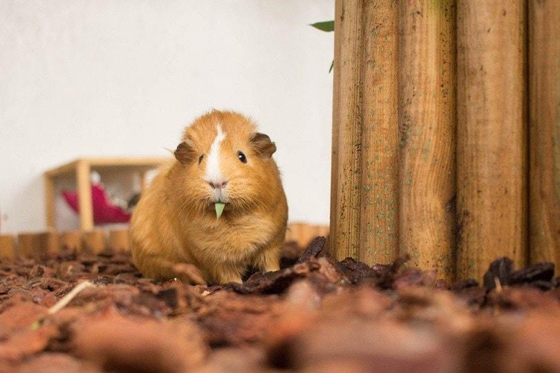 Red Guinea Pig eating Bamboo_Joline Greim_shutterstock