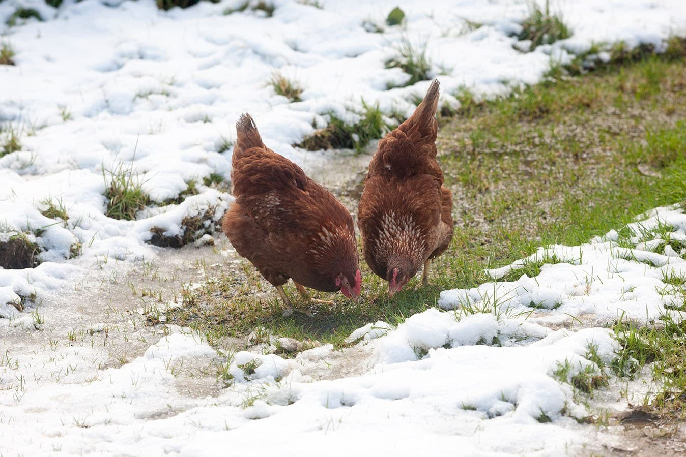 Rhode Island Red hens in the snow