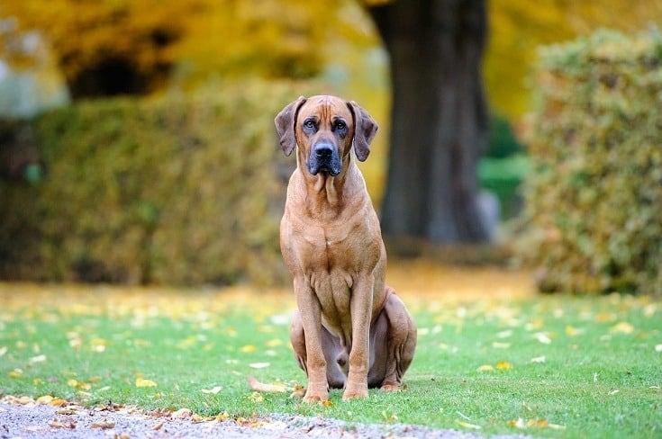 Rhodesian-Ridgeback-dog on grass