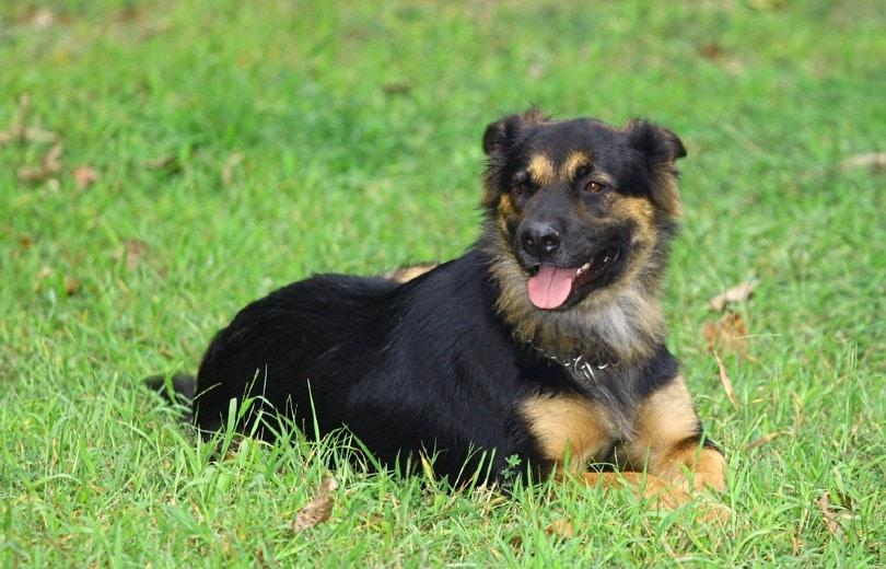 Rottweiler German Shepherd mix_Barry Blackburn, Shutterstock