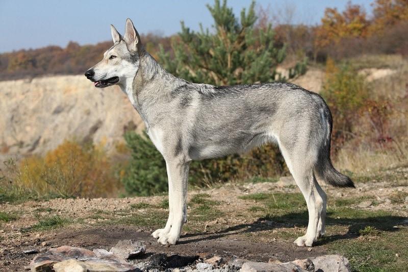 Saarloos Wolfhound