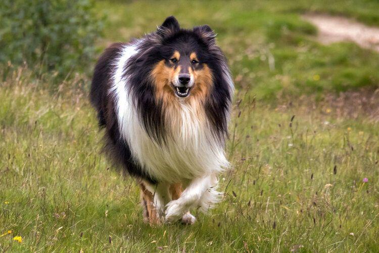 Scotch Collie (rough collie) running in grass