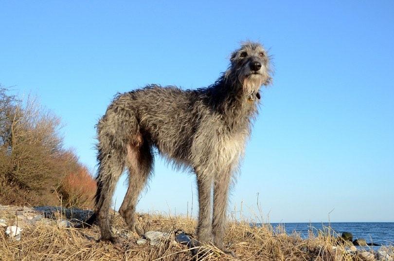 Scottish Deerhound standing at a beach