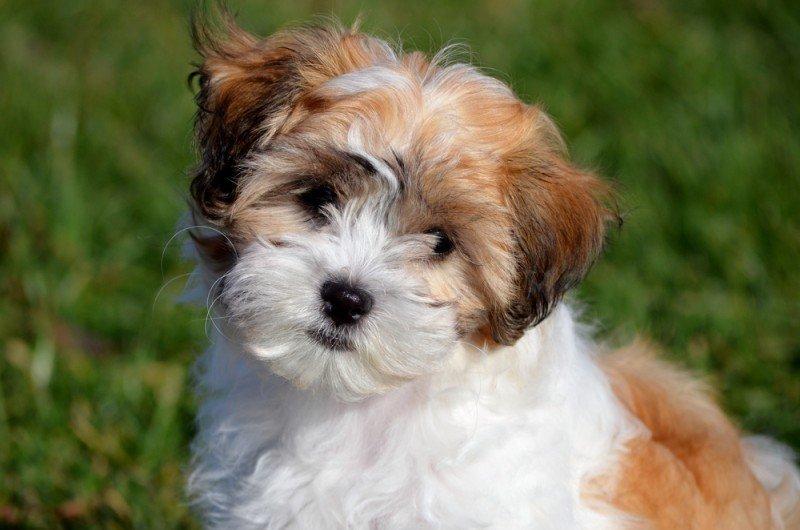 Shichon Shih Tzu Bichon Frise mix dog