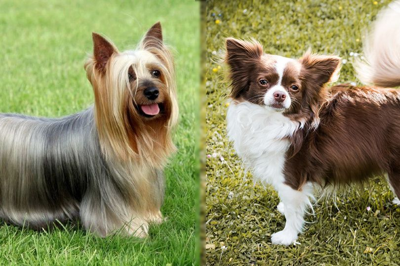 Silky Terrier and Chihuahua